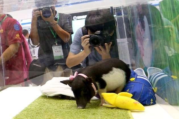 BGI a présenté ses micro-cochons tout mignons lors d'un sommet à Shenzhen en Chine. © BGI, Nature
