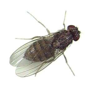 Drosophila bifurca, espèce cactophile d'Amérique centrale