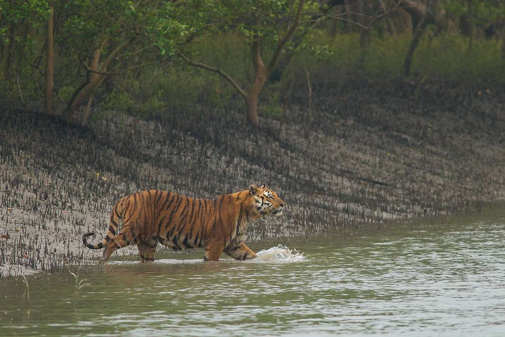 Un tigre du Bengale dans la forêt de mangrove des Sundarbans, un des derniers sanctuaires pour ces grands félins classés en danger sur la liste rouge des espèces menacées de l'Union internationale pour la conservation de la nature (UICN). © Soumyajit Nandy, Wikimedia Commons, CC By-SA 4.0