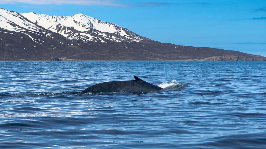 Contre toute attente, les mammifères marins vivant dans l'océan Arctique (ici dans la baie d'Húsavík, au nord-est de l'Islande) se portent bien, contrairement à leurs congénères de l'Atlantique. © squallidon, Flickr, CC by-nc-sa 2.0