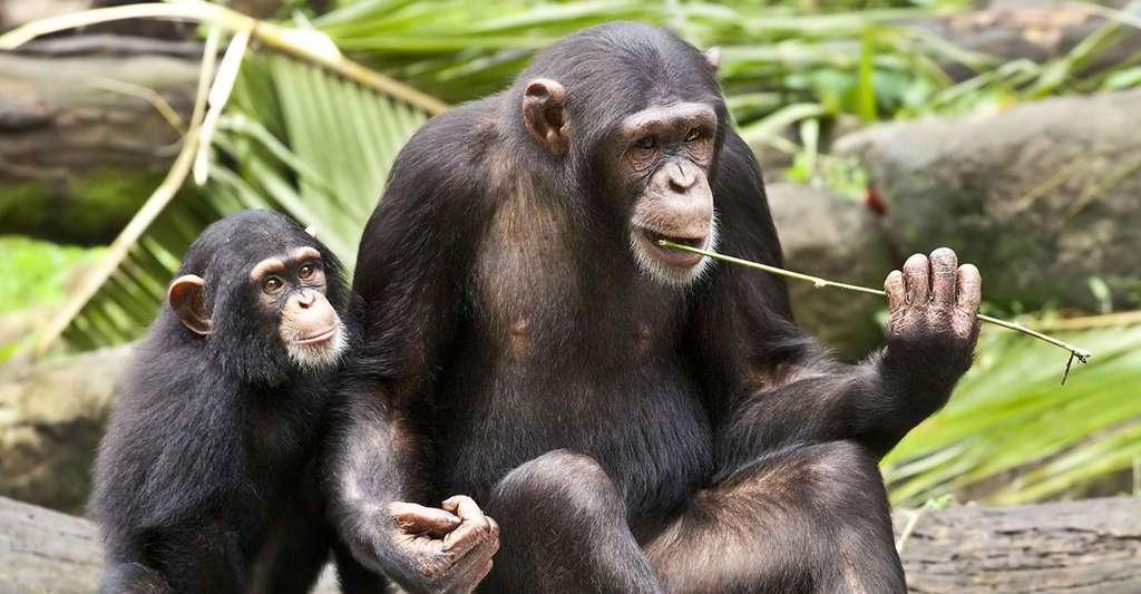 Éducation d'un jeune chimpanzé à la pêche aux fourmis. Cette scène est-elle la preuve de l'existence d'une culture chez les animaux ? © Sheba Also, Flickr, CC by-nc-sa 2.0