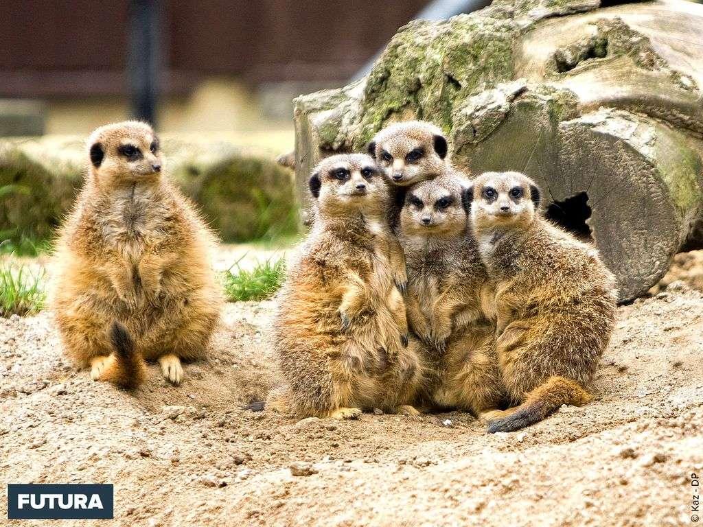 Le suricate vit en groupe de 20 à 50 individus