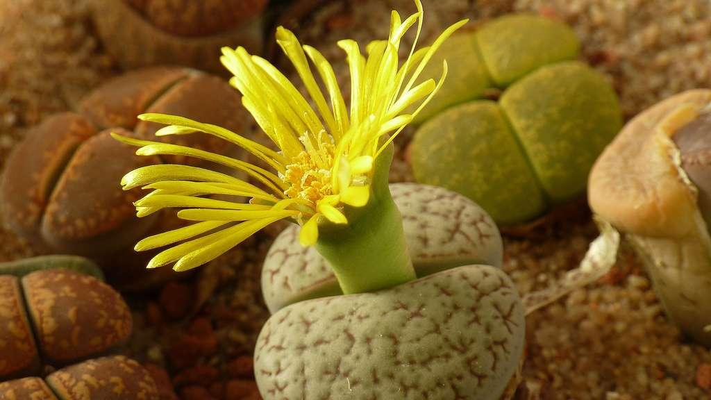 Les Lithops, des plantes-cailloux