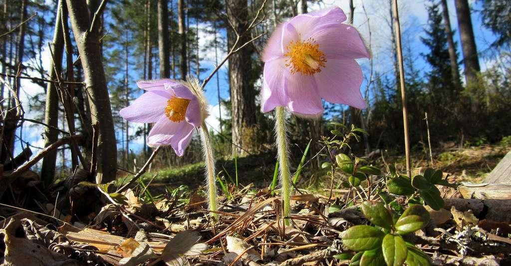L'edelweiss n'est pas la seule plante caractéristique des montagnes. Ici, l'anémone de printemps, ou pulsatille de printemps (Pulsatilla vernalis). © Palaluuseri, CC by-sa 4.0