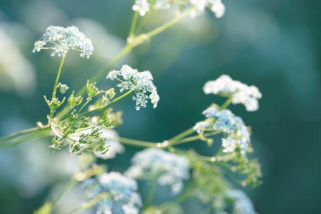 À forte dose, l'huile essentielle d'anis vert peut être euphorisante. © Сyrustr, Fotolia