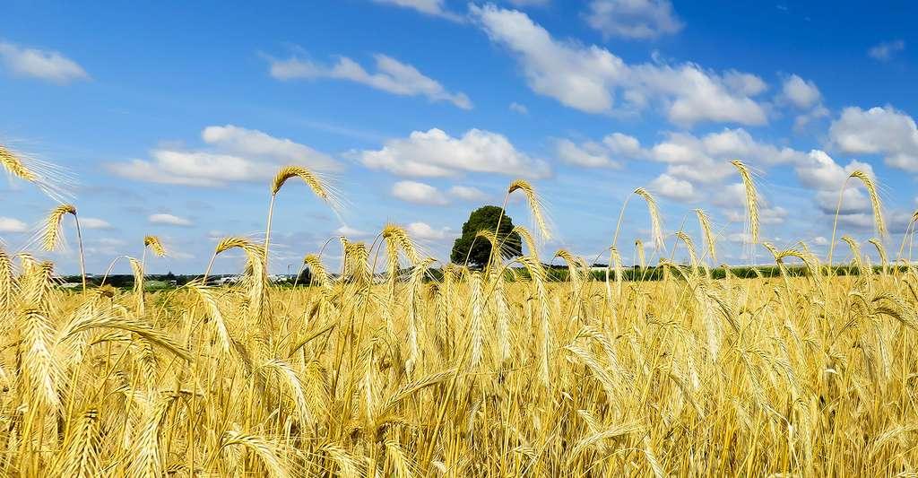 Champs de blé. © Gellinger, Pixabay, DP