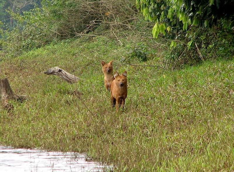 Dholes au Kerala en Inde. © Bernard Gagnon, GNU FDL Version 1.2