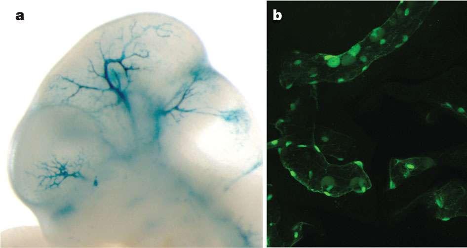 Les chercheurs n'ont pas fait que séquencer des fragments d'ADN. Ils ont aussi longuement étudié l'activation de gènes dans différents types cellulaires humains ainsi que chez les animaux. On voit ici le résultat de colorations témoignant de l'activité de certains gènes chez un embryon de souris (à gauche) et chez un poisson (à droite). © Encode Project Consortium / Nature