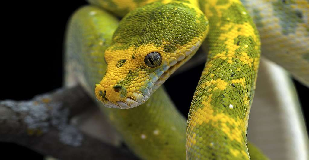 Boa vert : sa couleur lui permet de se fondre dans le feuillage des arbres. © PetlinDmitry, Shutterstock