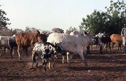 Photo : 48 - Le bovin au premier plan est un taurin de race Baoulé, trypanotolérant, devant des zébus de plus grand format, mais trypanosensibles. Ferme de Banankélédaga, Burkina Faso. © Gérard Duvallet