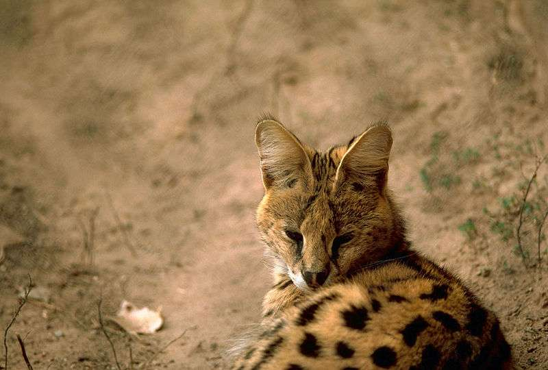 Serval. © Stolz, Gary M., U.S. Fish and Wildlife Service, domaine public