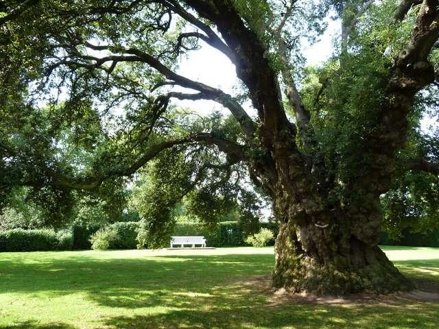 Le chêne vert produit des fruits bruns, les glands. © Ruth Sharville CC by sa 2.0
