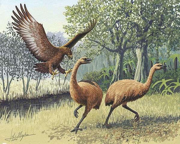Un aigle géant de Haast attaquant des moas de Nouvelle-Zélande. L'extinction de leurs proies suite à leur chasse par des ancêtres des Maoris au XIIIe siècle a également entraîné la disparition de cette espèce prédatrice. © Dessin de John Megahan, Wikimedia Commons, cc by sa 2.5