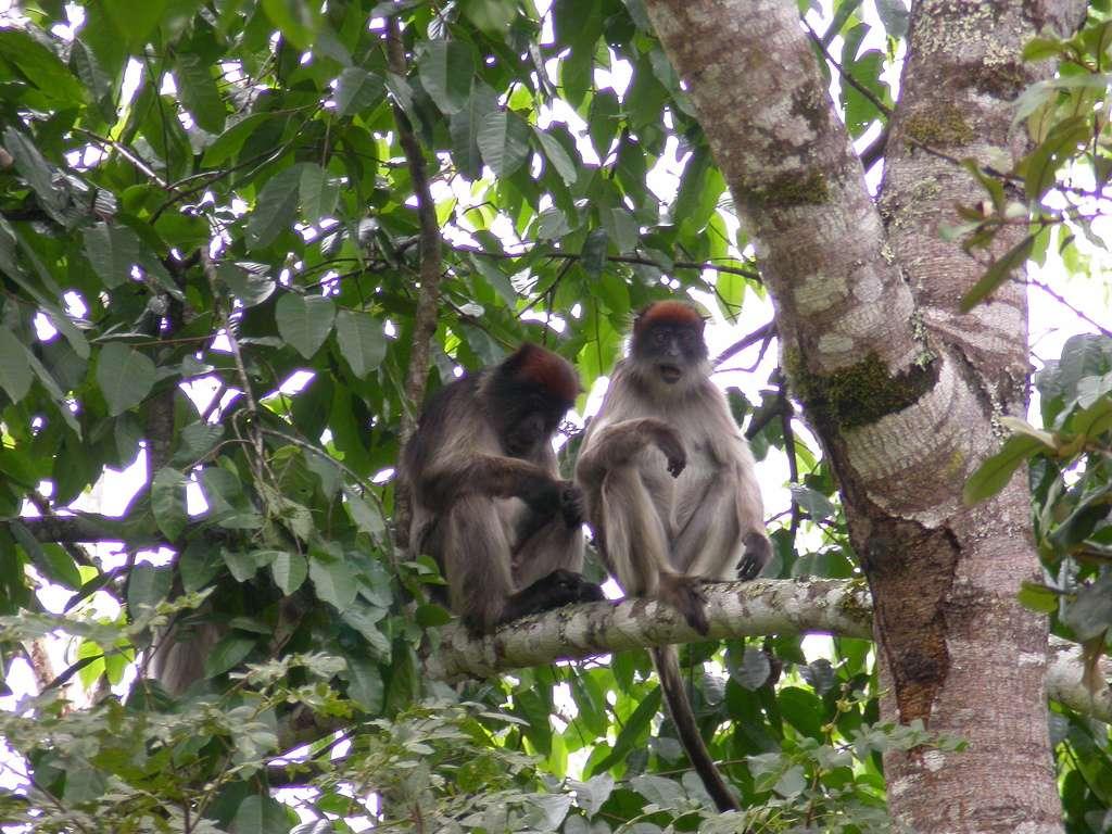 Les colobes rouges du Parc national de Kibale, en Ouganda, sont friands d'eucalyptus, arbres à fort taux d'œstrogènes. Une grande consommation d'œstrogènes influe sur leur comportement. © Duncan, Wikipédia, cc by sa 2.0