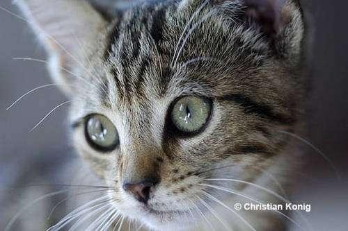 Œil de chat, un instrument naturel très performant, ne dit-on pas « œil de lynx » ? L'œil de faucon, aussi très performant, bénéficie de la même expression « œil de faucon » c'est donc bien que leur performance a impressionné l'homme ! © Christian König, reproduction et utilisation interdites