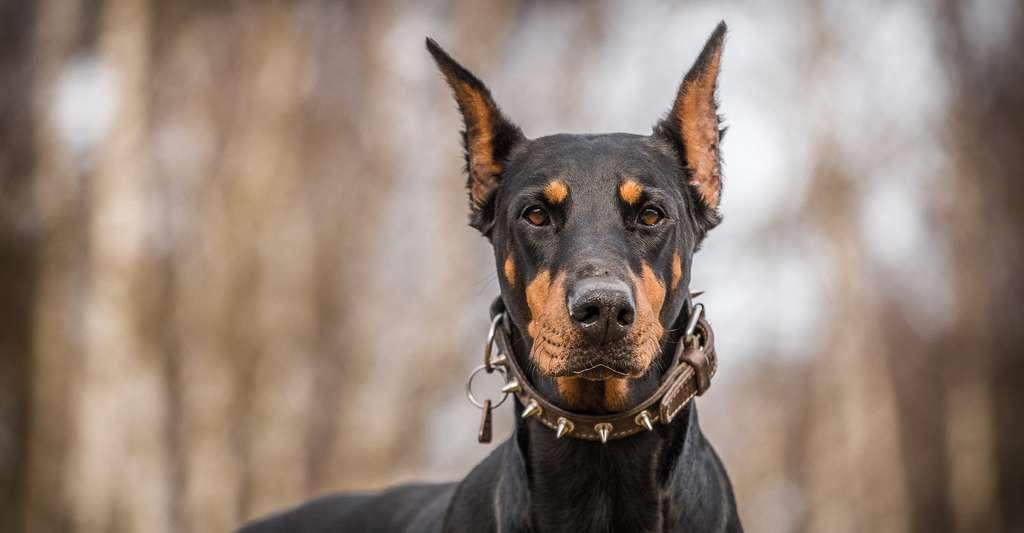 En cinquième position du classement des chiens les plus intelligents du monde, on retrouve le dobermann et sa sensibilité. © jurra8, Shutterstock