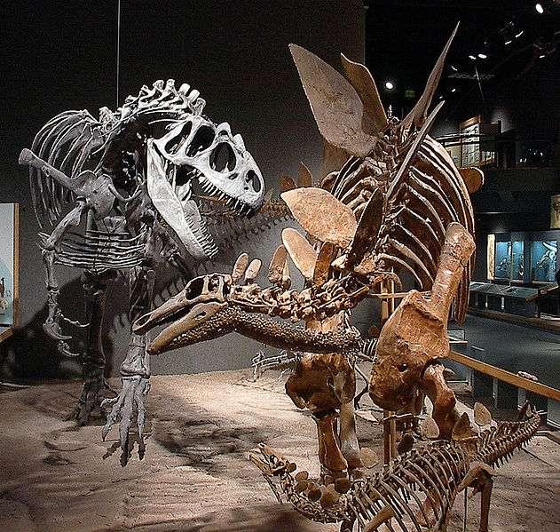 Les squelettes de grands dinosaures (ici un stégosaure adulte et un petit, à droite, et un allosaure, à gauche, au Royal Ontario Museum), sont rarement complets, et nécessitent des fouilles longues, suivies d'une minutieuse préparation pour dégager les ossements retrouvés. © Luke Jones/Licence Creative Commons