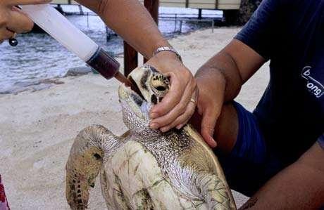 Ici une tortue verte (Chelonia mydas) à qui l'on fait avaler un médicament. Les tortues soignées seront ensuite relâchées. © Alexis Rosenfeld - Reproduction interdite
