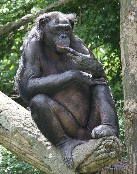 Bonobo. © Ltshears, CC by-SA 3.0