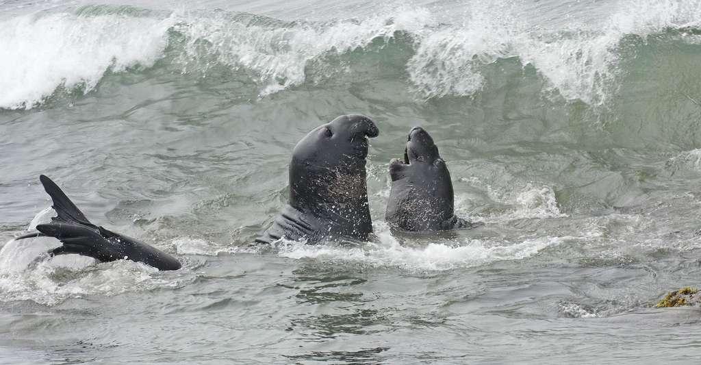 C'est l'heure des amours chez les éléphants de mer. © Carla Kishinami, Flickr, CC bya-nc 2.0