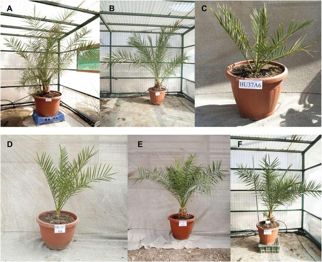 Les graines ont donné des plantes viables. Voici les états après plusieurs mois de croissance. © Sarah Sallon, et al. Science Adavnces