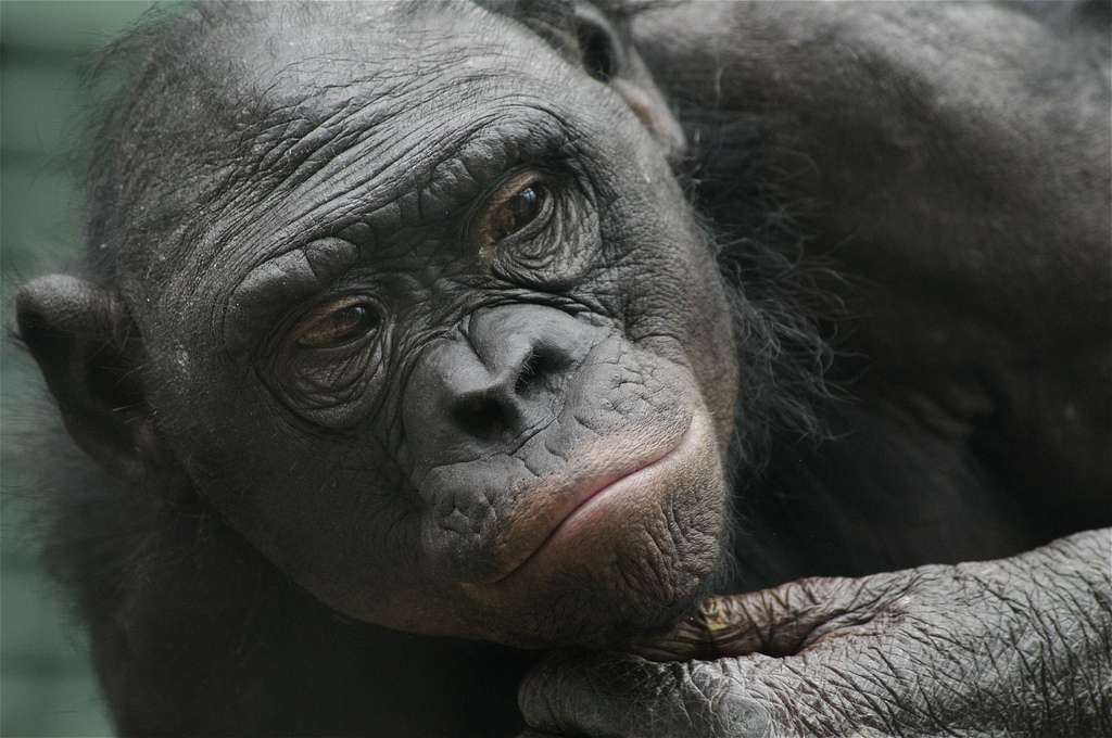 L'œil perdu dans le lointain, la main qui soutient le menton, plongé dans ses réflexions : pas de doute, les bonobos comptent bien parmi nos plus proches cousins ! © Ucumari, Flickr, cc by nc nd 2.0