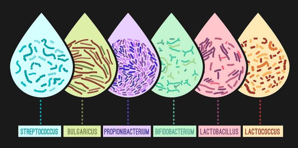 Les souches de probiotiques les plus utilisées. © Double Brain, Fotolia