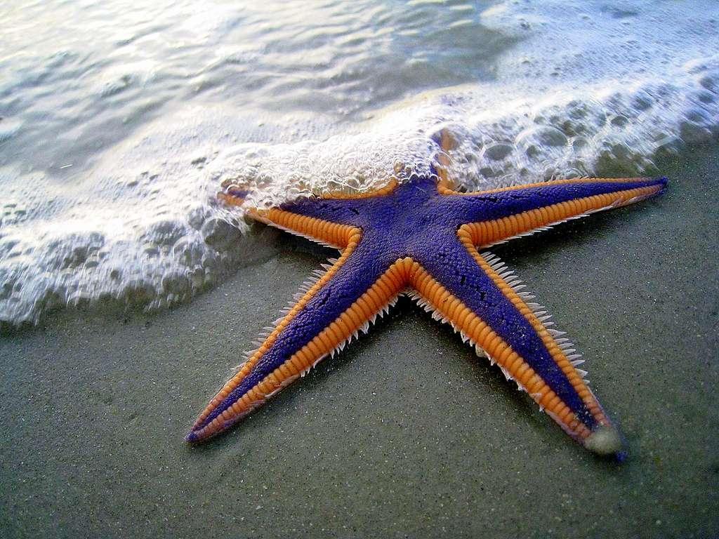 L'étoile royale