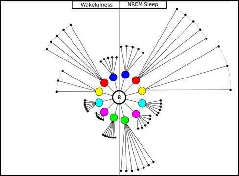 Ce graphique illustre les flux d'informations qui circulent dans notre cerveau lors de l'éveil (partie gauche) ou durant la phase de sommeil lent (partie droite). © H. Benali/Inserm