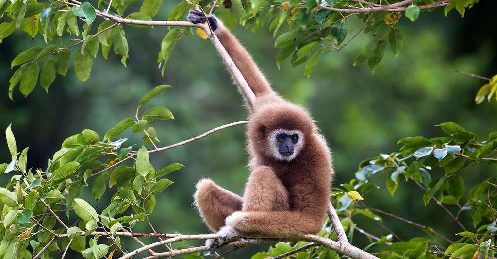 Gibbon à mains blanches. © JJ Harrisonj, CC by 3.0