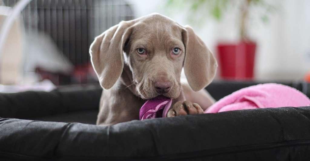 Si les propriétaires de braques de Weimar (ici en photo) — ou d'autres chiens d'arrêt — semblent les plus avantagés parmi les propriétaires de chiens, pour une raison qui reste inexpliquée, les propriétaires de bâtards semblent, eux, plus enclins à développer des maladies cardiovasculaires que la moyenne! © ElvisClooth, Pixabay, CC0 Creative Commons