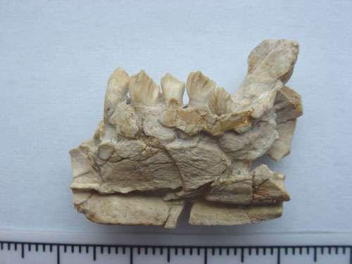 Fragment de mandibule du dinosaure cératopsien Archaeoceratops avec les dents échantillonnées provenant du Crétacé inférieur de la province de Gansu (Chine). © Romain Amiot, DR