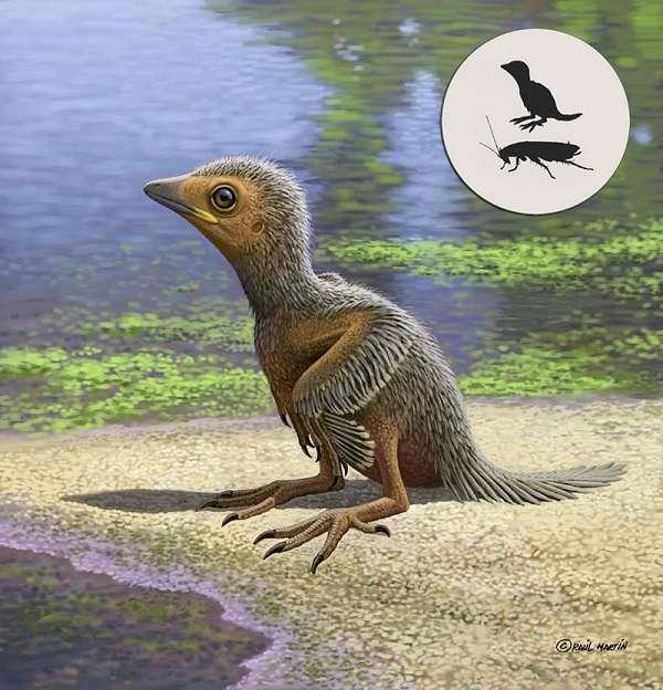 Vue d'artiste de l'oisillon découvert dans le gisement fossilifère de Las Hoyas, en Espagne. Il est à peine plus gros qu'un cafard. © Raúl Martin, Fabien Knoll et al., Nature Communications, 2018
