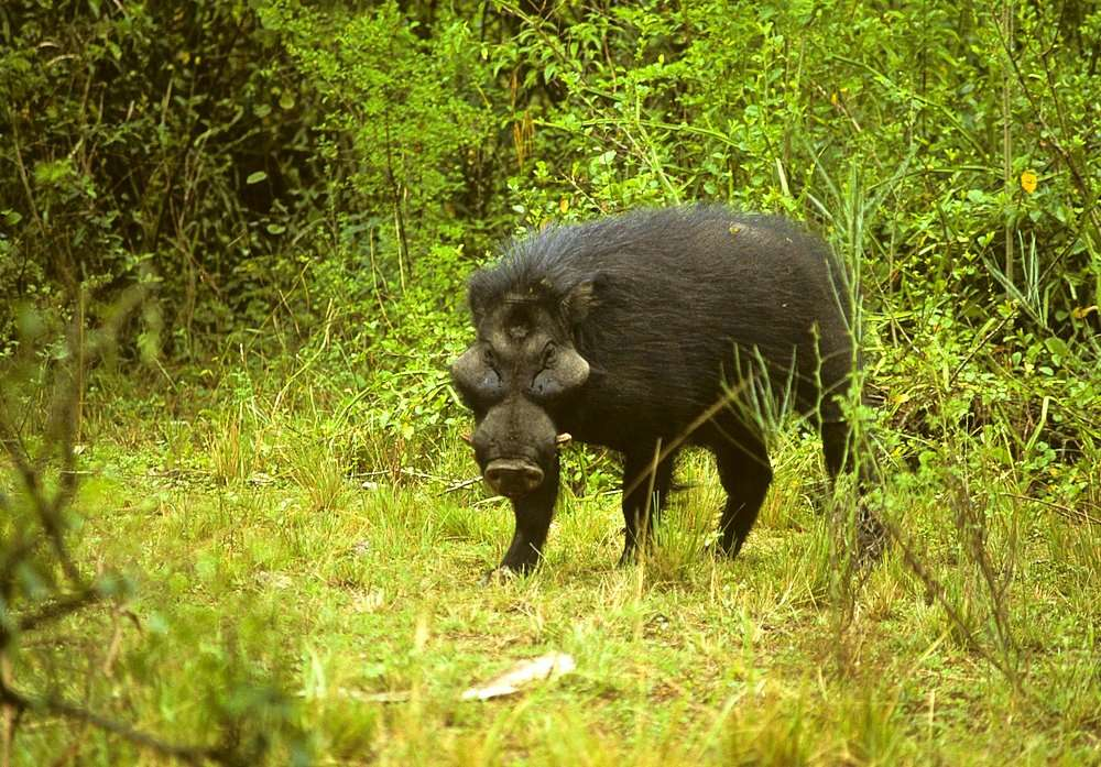 Hylochère en Ouganda. © fveronesi1, Flickr, cc by nc sa 2.0