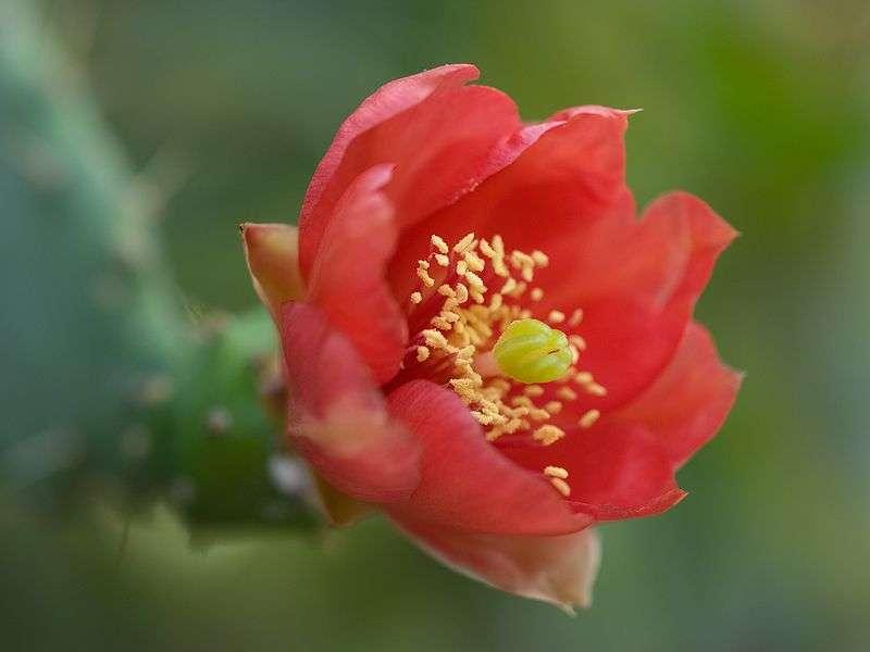Opuntienblüte, Flower of Opuntia spec.,