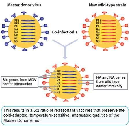 Vaccin « Flumist » : réassortiment génétique entre une souche mère atténuée et une souche sauvage saisonnière. © 2005, MedImmune Vaccines, Inc.