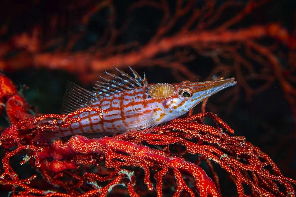 Une Bécasse à carreaux (Oxycirrhites typus) et son parasite. © Gabriel Barathieu, tous droits réservés