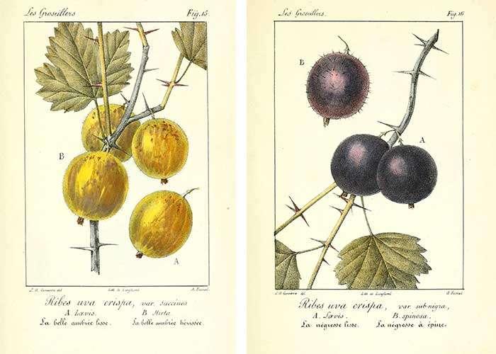 Grosses baies jaunes ou noires de groseilles à maquereau. © BHL, Domaine Public