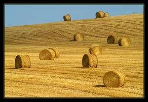 Cliquer pour agrandir. La paille, constituée de chaumes (tiges) de céréales, a des qualités nutritives très médiocres. Elle sert donc surtout pour faire de la litière pour le bétail. La filière ligno-cellulosique des biocarburants transforme cette biomasse en agrocarburant sans entrer en compétition avec la production agricole alimentaire. © Benoît Derrier CC by-nc-sa