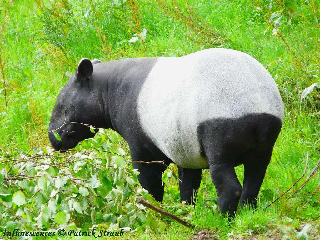 Tapir de Malaisie au zoo du Cerza, en Normandie. © Patrick Straub