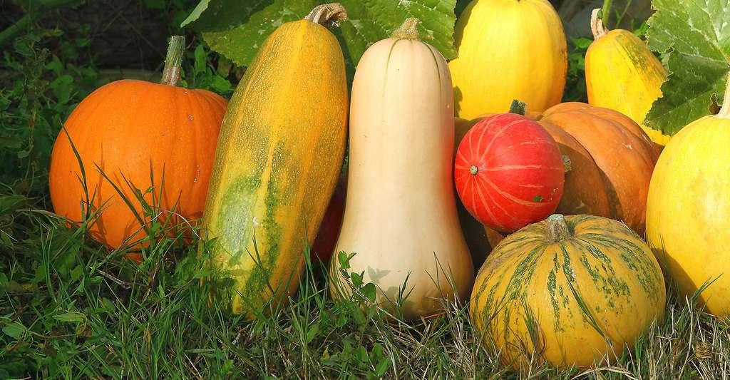 Différentes variétés de cucurbitacées. © Hcast, Fotolia
