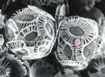 Des algues Emiliania huxleyi observées au microscope électronique à balayage, attaquées par un virus EhVs (coloré artificiellement en rose). Source Commons