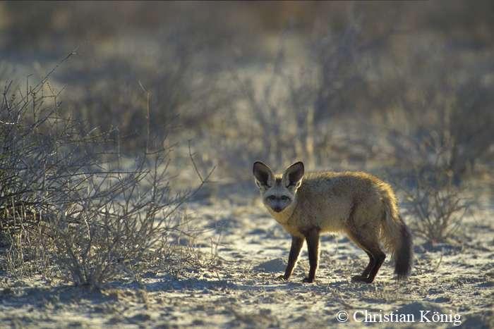 L'otocyon, ou renard à oreilles de chauve-souris, vit dans les savanes et les prairies plutôt arides. © Christian König, DR