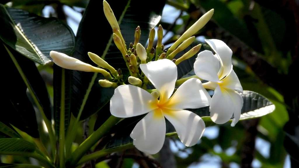Plumeria en fleurs, originaire d'Amérique centrale