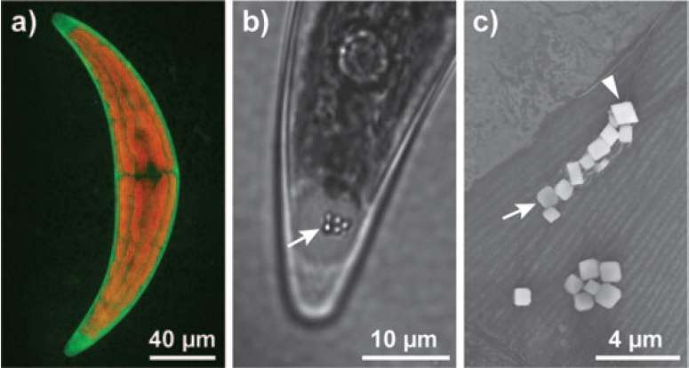 L'algue verte unicellulaire Closterium moniliferum (visible en entier en a) accumule des vésicules (flèche en b) formées de cristaux (flèche en c) à base de barium et de strontium. © ChemSusChem