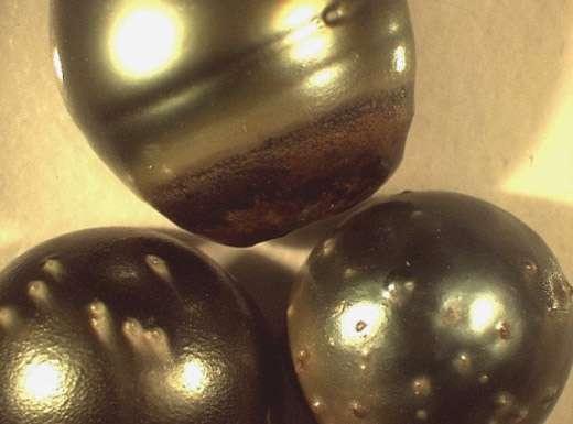 Perles à défauts en lumière normale. © Ifremer, tous droits de reproduction interdits