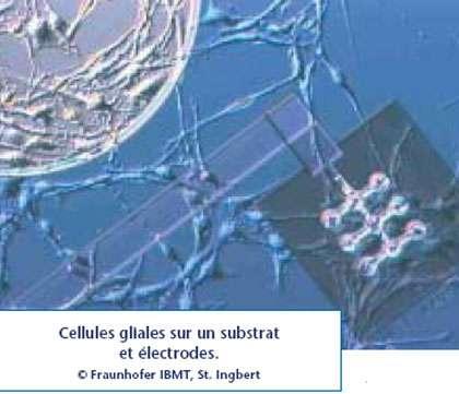 Cellules gliales sur un substrat et électrodes. © Fraunhofer IBMT, St. Ingbert - Reproduction et utilisation interdites
