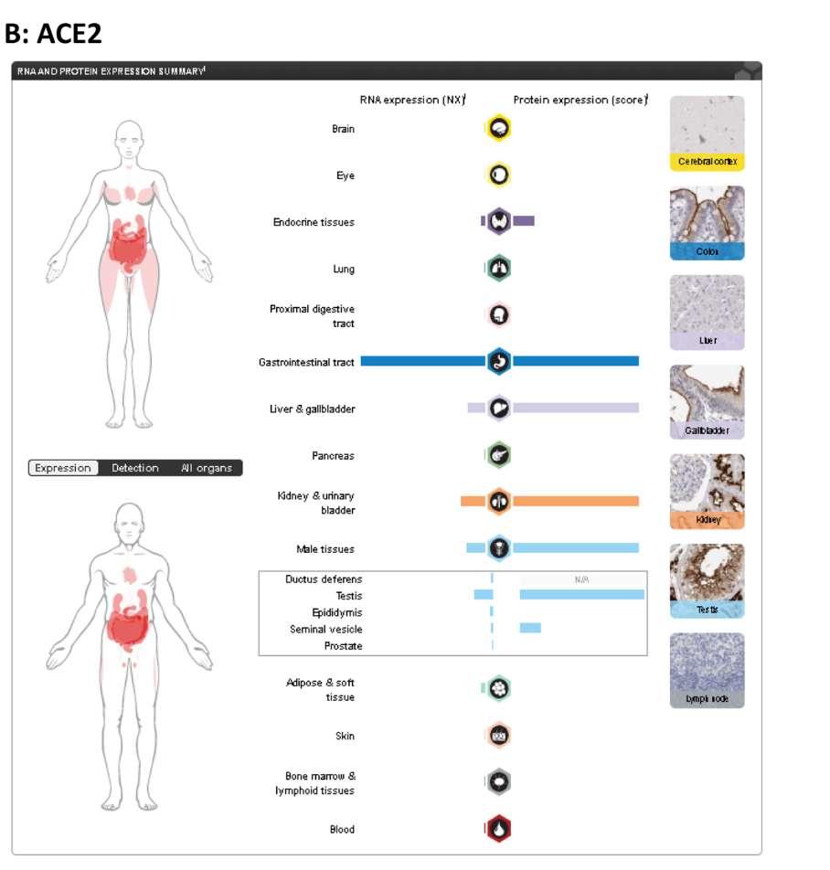 L'expression de l'ARN et de la protéine ACE2 selon les tissus chez l'homme et la femme. La protéine est particulièrement présente dans les testicules. © The Human Protein Atlas