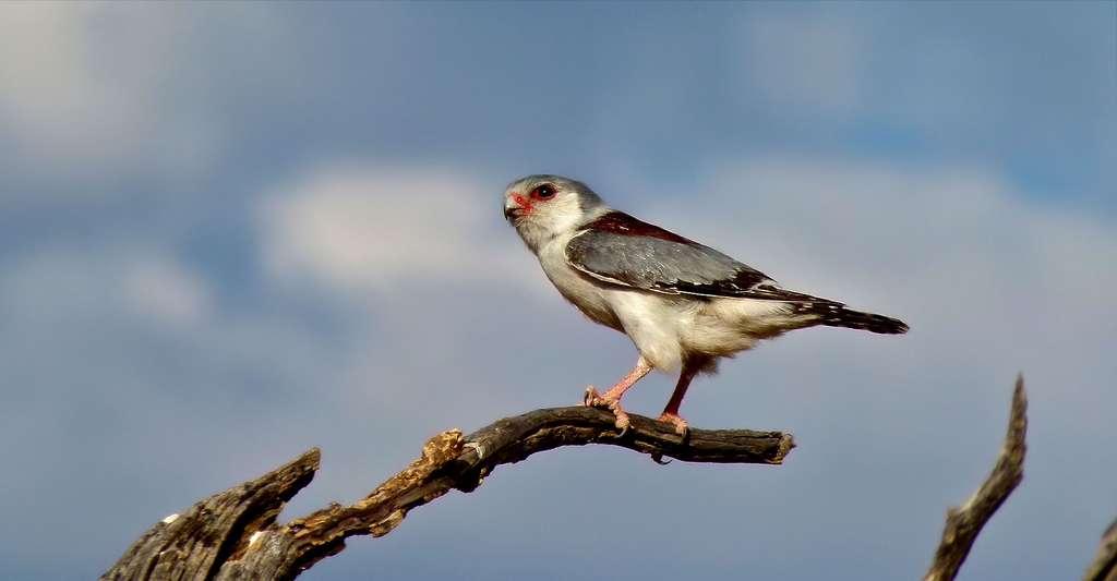 Faucon de Namibie (Polihierax_semitorquatus). © Bernard DUPONT, CC BY-SA 2.0