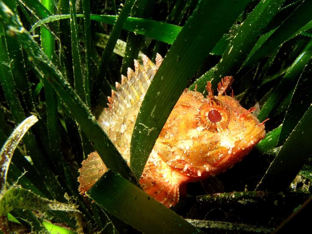 Figure 7.1. La rascasse Scorpaena porcus, un redoutable prédateur de poissons. Le jour, elle dort, protégée par ses épines venimeuses. La nuit, elle part à la chasse des castagnoles endormies. Un agent inconscient de l'exploitation de la production pélagique côtière. Photo © Sandrine Ruitton - Tous droits réservés - Reproduction interdite